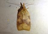 3724 - Cenopis saracana; Tortricid Moth species