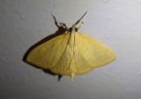 4973.1 - Ecpyrrhorrhoe puralis; Crambid Snout Moth species; exotic