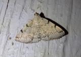8341 - Zanclognatha theralis; Litter Moth species