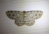 6597 - Ectropis crepuscularia; Small Engrailed