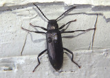 Strongylium simplicicolle; Darkling Beetle species