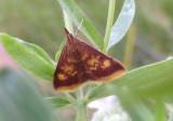 5071 - Pyrausta acrionalis; Mint-loving Pyrausta Moth