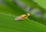 Thaumatomyia Frit Fly species