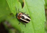 Calligrapha californica; Leaf Beetle species