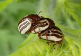 Zygogramma suturalis; Ragweed Leaf Beetles