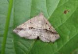 8491 - Ledaea perditalis; Lost Owlet