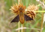 Chrysanthrax cypris; Bee Fly species
