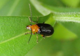 Phyllecthris dorsalis; Leaf Beetle species