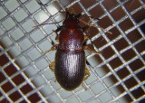 Ophonus puncticeps; Ground Beetle species