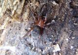 Callilepis Ground Spider species