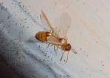 Temnothorax ambiguus; Acorn Ant species