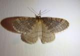 7437 - Operophtera bruceata; Bruce Spanworm; male