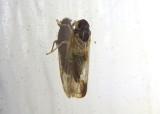 Haplaxius Cixiid Planthopper species