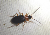 Agonum decorum; Ground Beetle species