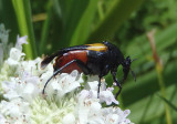 Macrosiagon flavipennis; Wedge-shaped Beetle species; female
