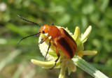 Zonitis vittigera/perforata complex; Blister Beetle species