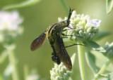 Lepidophora lutea; Bee Fly species
