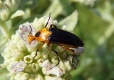 Macrosiagon limbata; Wedge-shaped Beetle species; female
