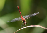 Sympetrum obtrusum; White-faced Meadowhawk; male