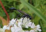 Eremnophila aureonotata; Thread-waisted Wasp species