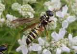 Myzinum Thynnid Wasp species