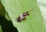 Pteromalidae Chalcid Wasp species