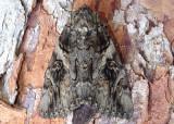 8771 - Catocala piatrix; The Penitent Underwing