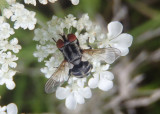 Gymnoclytia occidua; Tachinid Fly species