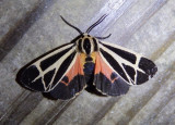 8170 - Apantesis vittata; Banded Tiger Moth