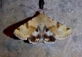 11072 - Heliothis phloxiphaga; Darker-spotted Straw Moth
