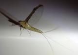 Callibaetis floridanus; Small Minnow Mayfly species; female