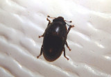 Cryptarcha ampla; Sap-feeding Beetle species