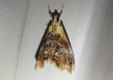 4889 - Dicymolomia julianalis; Julia's Dicymolomia Moth