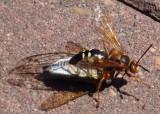 Sphecius speciosus; Eastern Cicada Killer with prey