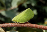 Acanalonia conica; Planthopper species