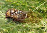 Neotibicen dorsatus; Bush Cicada