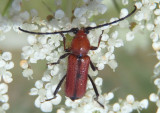 Batyle suturalis; Long-horned Beetle species