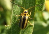 Trirhabda Skeletonizing Leaf Beetle species