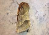 11147 - Schinia gracilenta; Slender Flower Moth