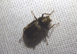 Helichus lithophilus; Long-toed Water Beetle species