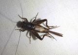 Nemobiinae Ground Cricket species; male