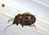 Stenolophus lecontei; LeConte's Seedcorn Beetle