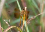 Sympetrum semicinctum; Band-winged Meadowhawk; female