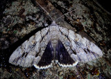 8788-8788.1 - Catocala retecta/luctuosa complex; Yellow-gray/Hulst's Underwing