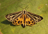 8175 - Grammia virguncula; Little Virgin Tiger Moth