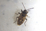 Sphragisticus nebulosus; Dirt-colored Seed Bug species