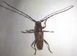 Elaphidion mucronatum; Spined Oak Borer