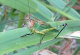 Orchelimum nigripes; Black-legged Meadow Katydid; male