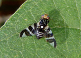 Rhagoletis tabellaria; Fruit Fly species