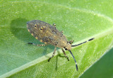 Catorhintha mendica; Leaf-footed Bug species nymph